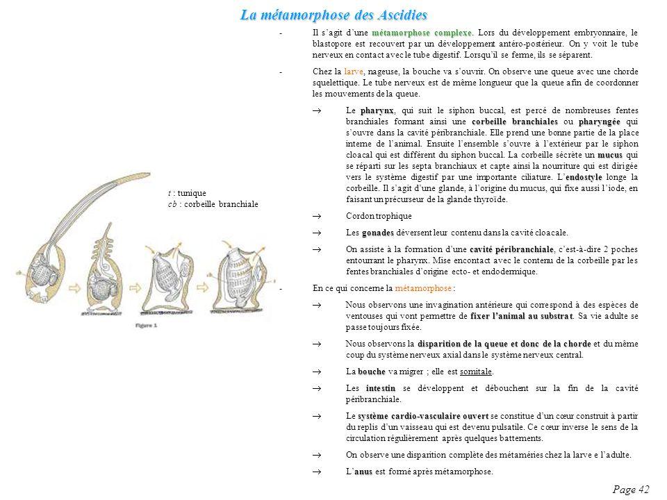 La métamorphose des Ascidies Page 42 métamorphose complexe -Il sagit dune métamorphose complexe. Lors du développement embryonnaire, le blastopore est