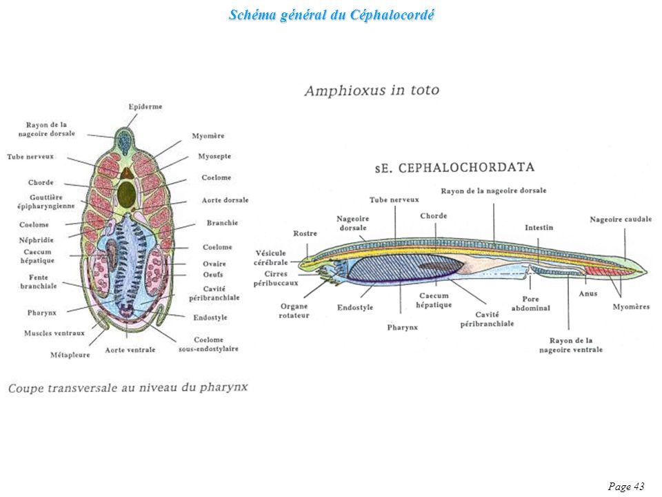 Schéma général du Céphalocordé Page 43