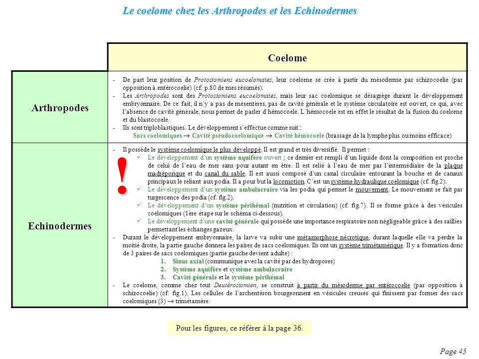 Le coelome chez les Arthropodes et les Echinodermes Page 45 Coelome Arthropodes -De part leur position de Protostomiens eucoelomates, leur coelome se crée à partir du mésoderme par schizocoelie (par opposition à entérocoelie) (cf.