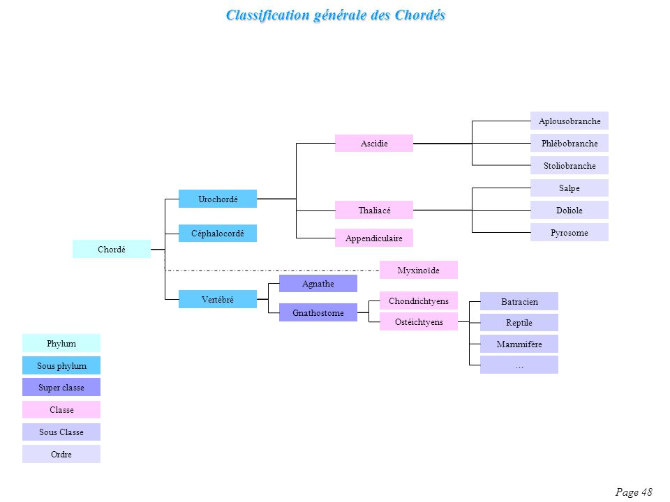 Classification générale des Chordés Page 48 Chordé Céphalocordé Urochordé Vertébré Thaliacé Ascidie Appendiculaire Phlébobranche Aplousobranche Stolio