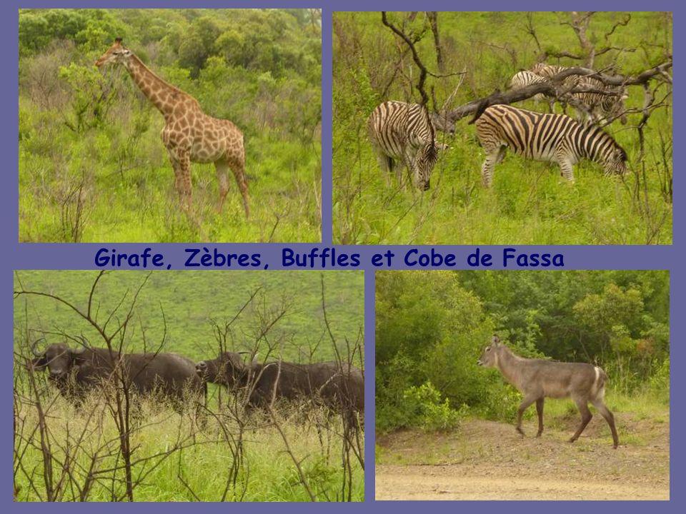 Prêts pour le 1 er Safari dans le bush de la Réserve de Hluhluwe-Umfolozi, les Rhinocéros sont au rendez-vous