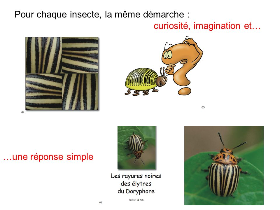 …une réponse simple Pour chaque insecte, la même démarche : curiosité, imagination et…