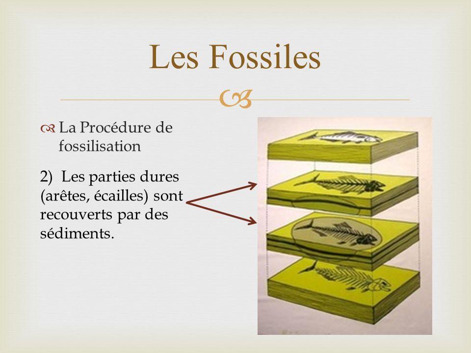 Les Fossiles La Procédure de fossilisation 2) Les parties dures (arêtes, écailles) sont recouverts par des sédiments.