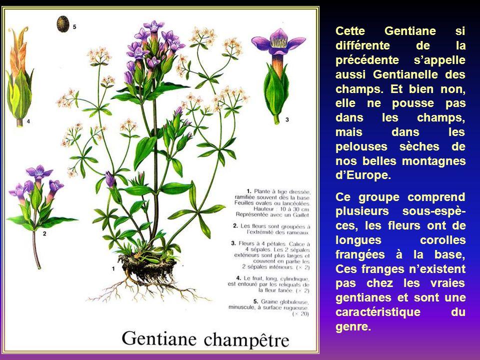 Cest une des plus belles fleurs des hautes mon- tagnes dEurope, jusquà 3000 daltitude. Ses gran- des corolles dun bleu profond, portée par une très co