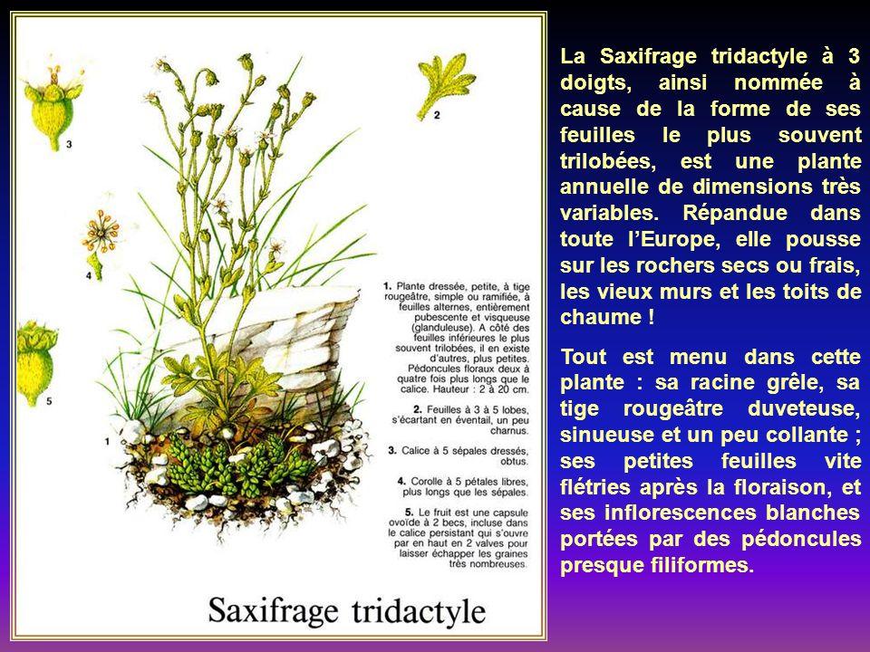 Cette délicate petite plante forme des guir- landes de feuillage sur les vieux murs et les rochers, qui ségaient de ses fleurs de teinte lilas, ressem