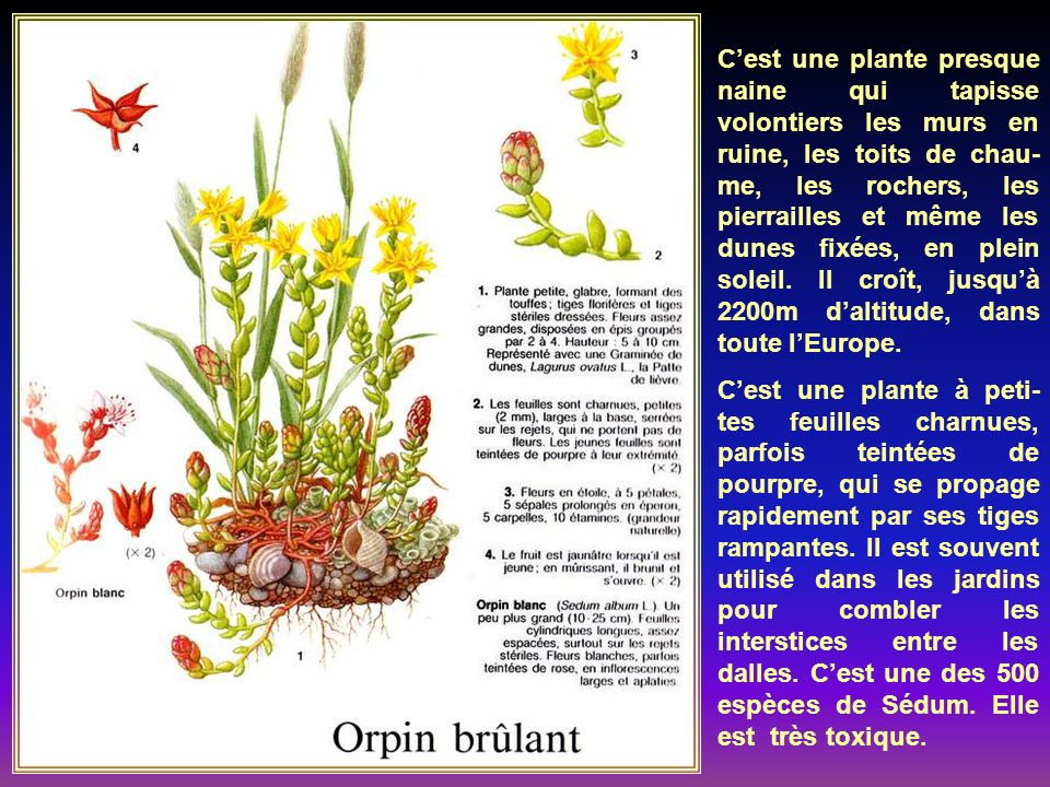 La Saxifrage tridactyle à 3 doigts, ainsi nommée à cause de la forme de ses feuilles le plus souvent trilobées, est une plante annuelle de dimensions très variables.
