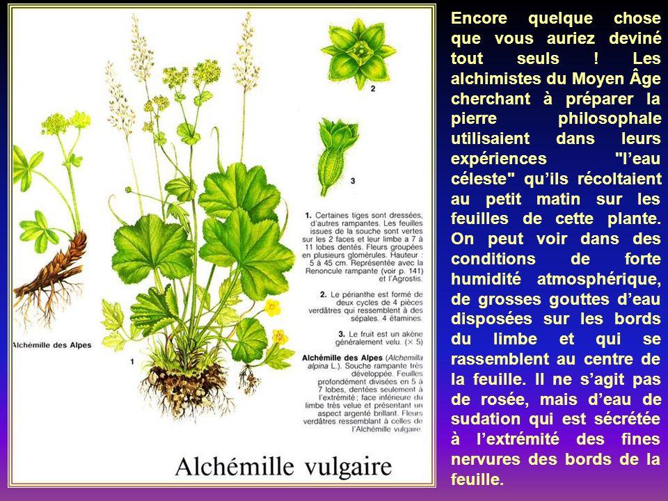 C Cest une plante fourragè- re de qualité. Depuis plu- sieurs siècles elle est cul- tivée comme aliment pour le bétail et possède une bonne valeur nut