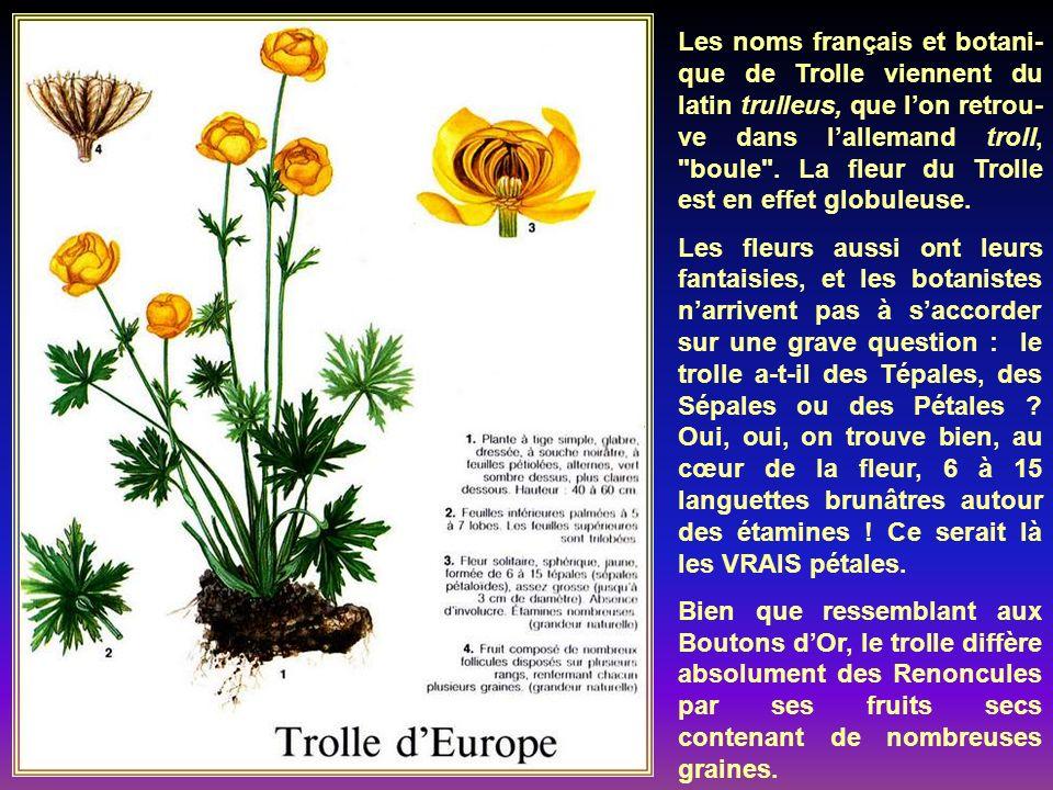 Appelée aussi Radiaire, cette plante vient des montagnes dEurope centrale et méridionale.