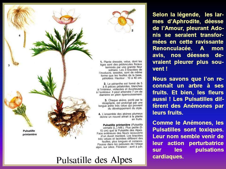 Les noms français et botani- que de Trolle viennent du latin trulleus, que lon retrou- ve dans lallemand troll,