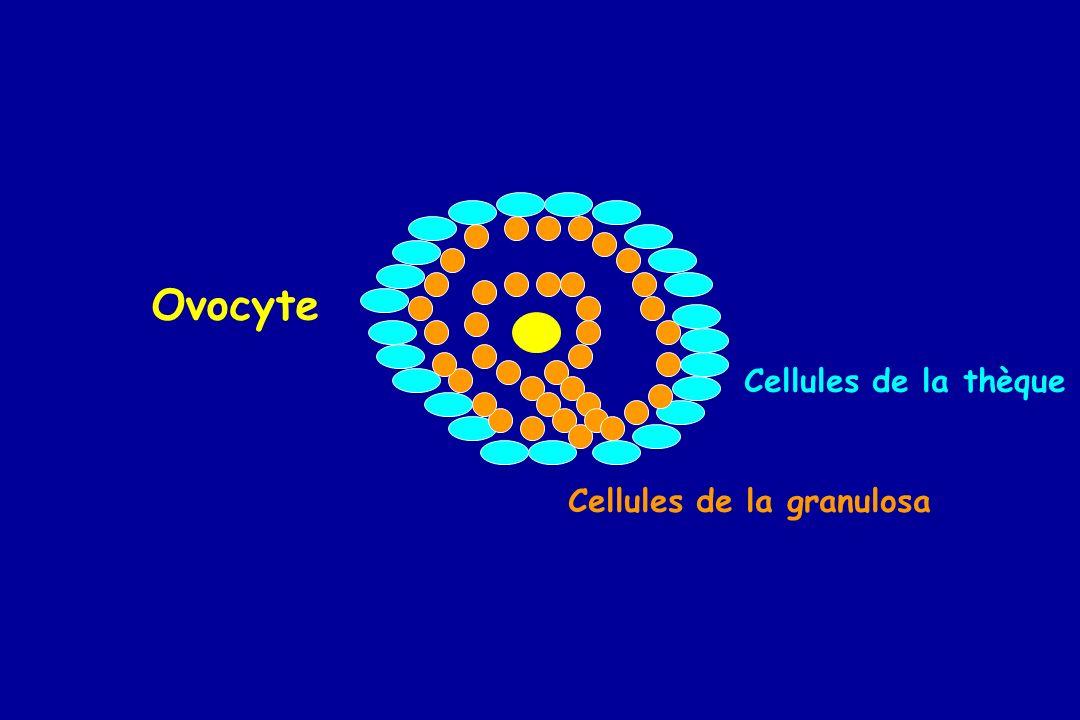 Cellules de la thèque Cellules de la granulosa Ovocyte