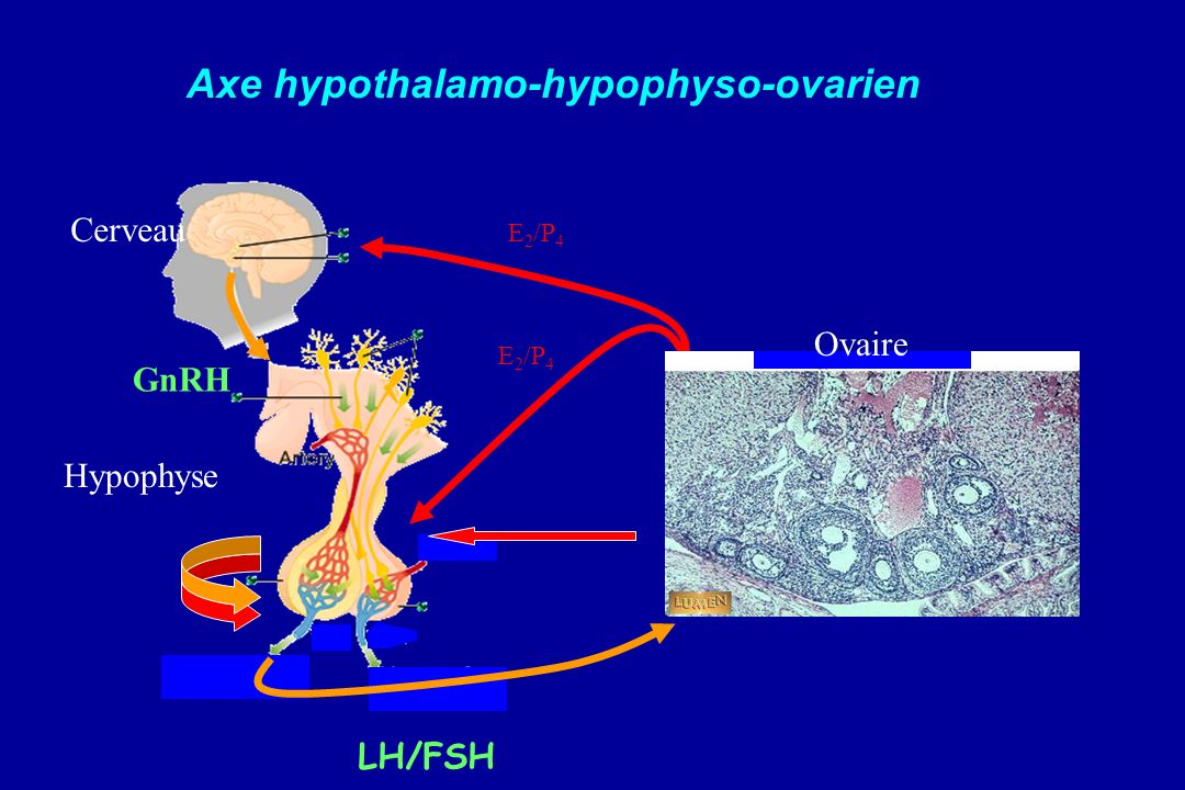 GnRH LH/FSH E 2 /P 4 Cerveau Hypophyse Ovaire Axe hypothalamo-hypophyso-ovarien