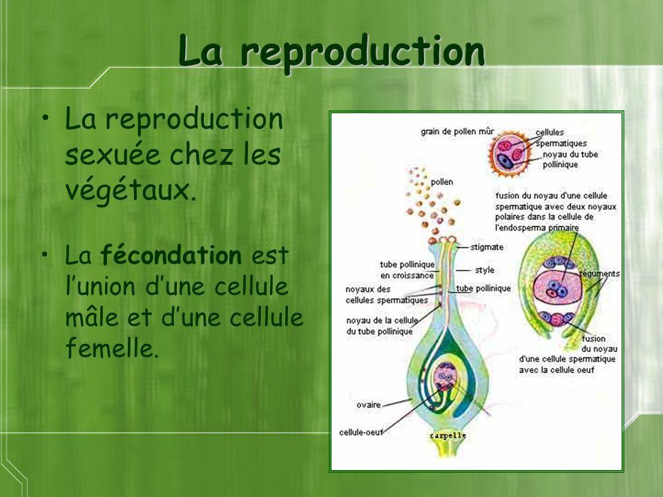 La reproduction La reproduction sexuée chez les végétaux. La fécondation est lunion dune cellule mâle et dune cellule femelle.