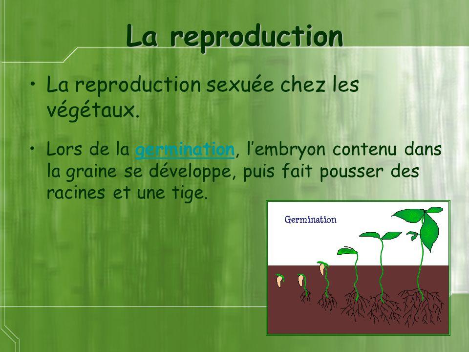 La reproduction La reproduction sexuée chez les végétaux. Lors de la germination, lembryon contenu dans la graine se développe, puis fait pousser des