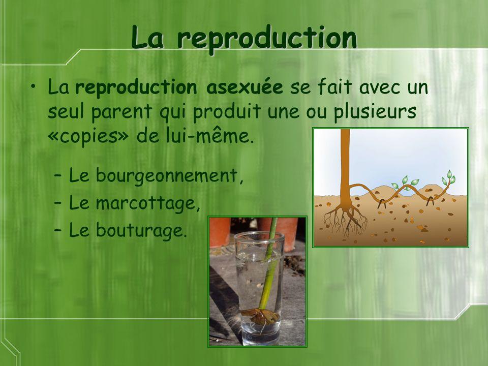 La reproduction La reproduction asexuée se fait avec un seul parent qui produit une ou plusieurs «copies» de lui-même. –Le bourgeonnement, –Le marcott