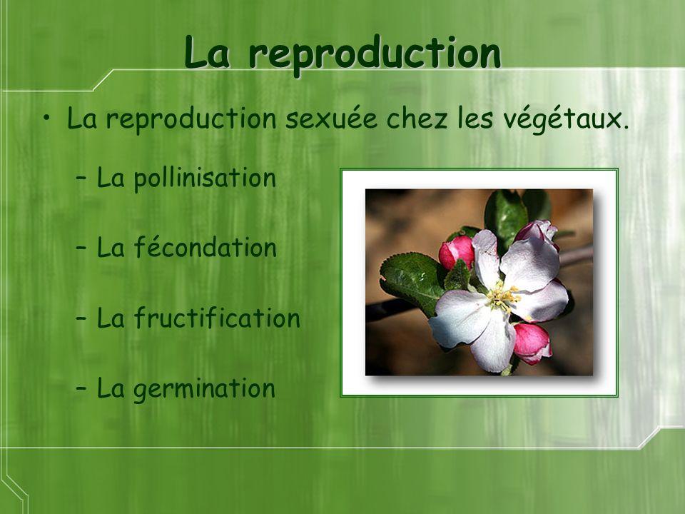 La reproduction La reproduction sexuée chez les végétaux. –La pollinisation –La fécondation –La fructification –La germination