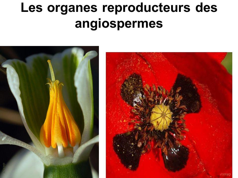 Les organes reproducteurs des angiospermes