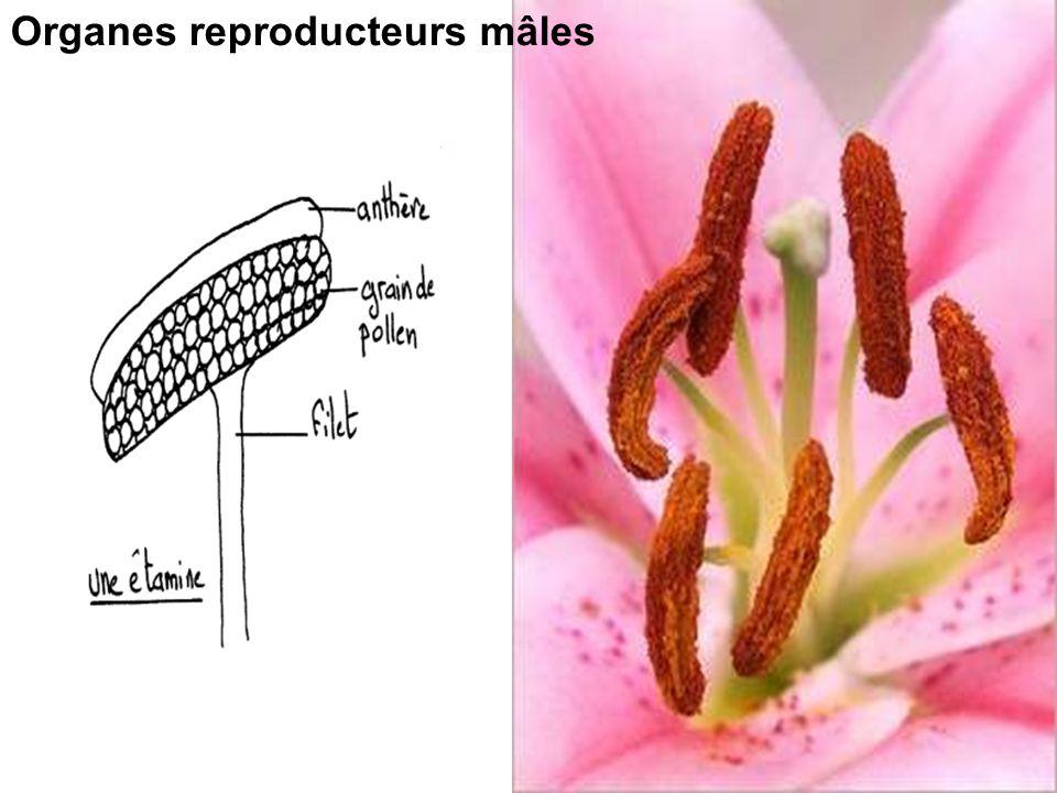 Organes reproducteurs mâles