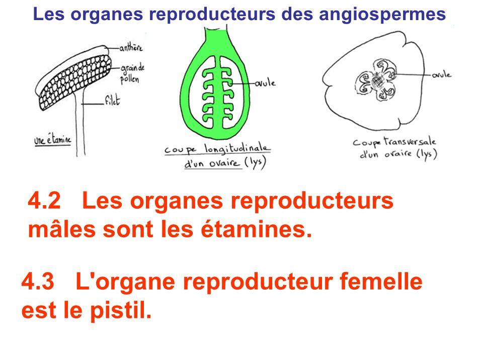 Les organes reproducteurs des angiospermes 4.2 Les organes reproducteurs mâles sont les étamines. 4.3 L'organe reproducteur femelle est le pistil.