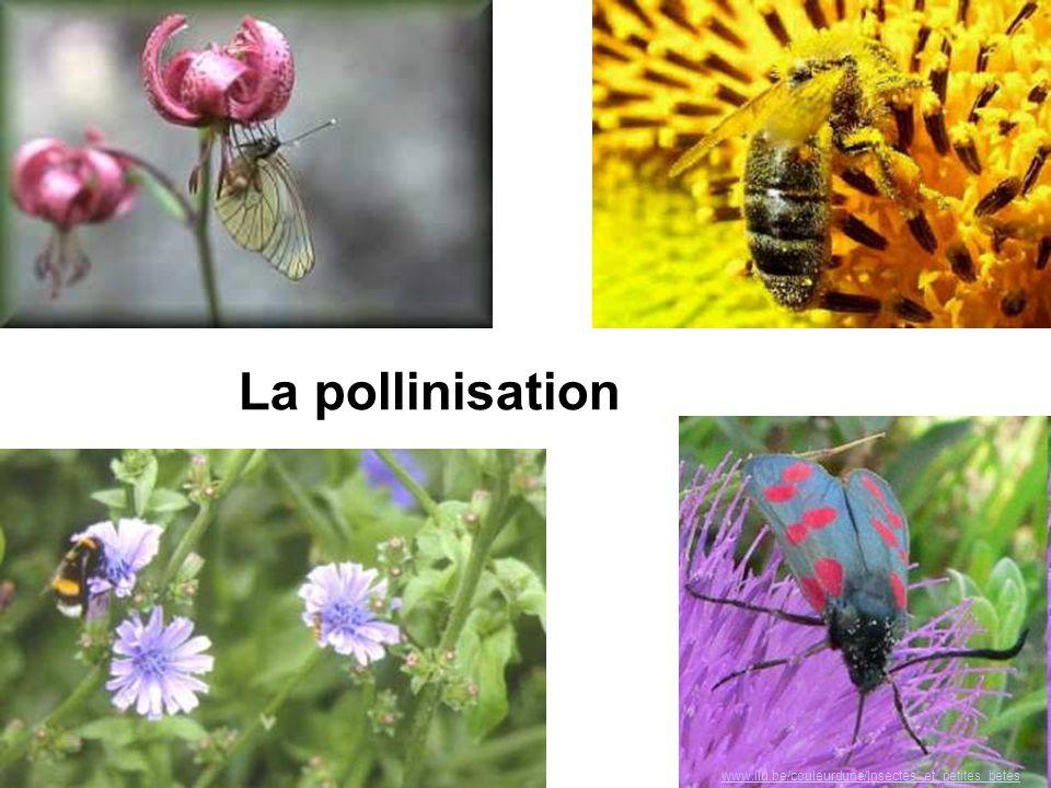 www.ilu.be/couleurdune/Insectes_et_petites_betes La pollinisation