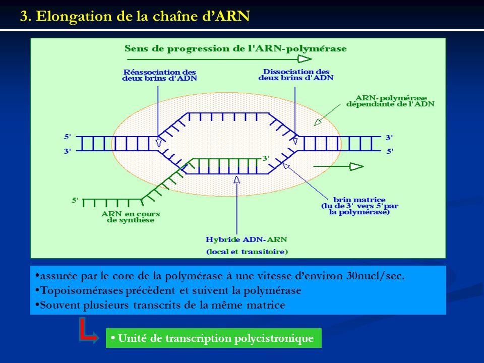 3. Elongation de la chaîne dARN assurée par le core de la polymérase à une vitesse denviron 30nucl/sec. Topoisomérases précèdent et suivent la polymér