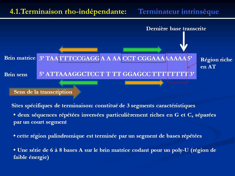 4.1.Terminaison rho-indépendante:Terminateur intrinsèque 3 TAATTTCCGAGG A A AA CCT CGGAAAAAAAA 5 5 ATTAAAGGCTCC T T TT GGAGCC TTTTTTTT 3 Brin matrice
