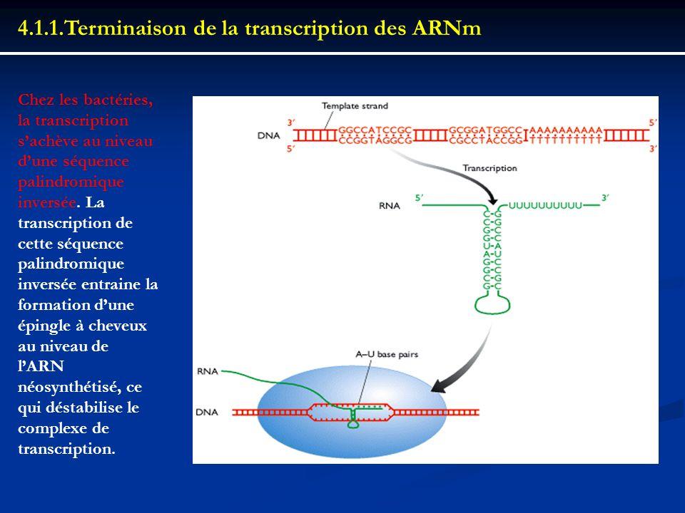 4.1.1.Terminaison de la transcription des ARNm Chez les bactéries, la transcription sachève au niveau dune séquence palindromique inversée. La transcr