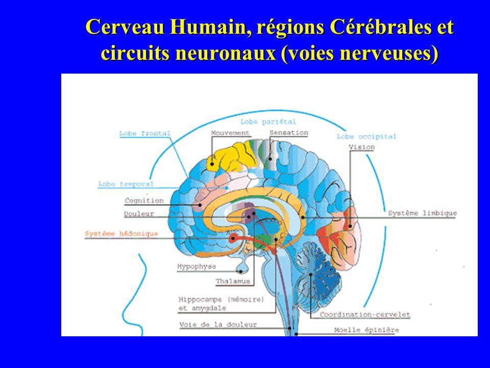 Cerveau Humain, régions Cérébrales et circuits neuronaux (voies nerveuses)