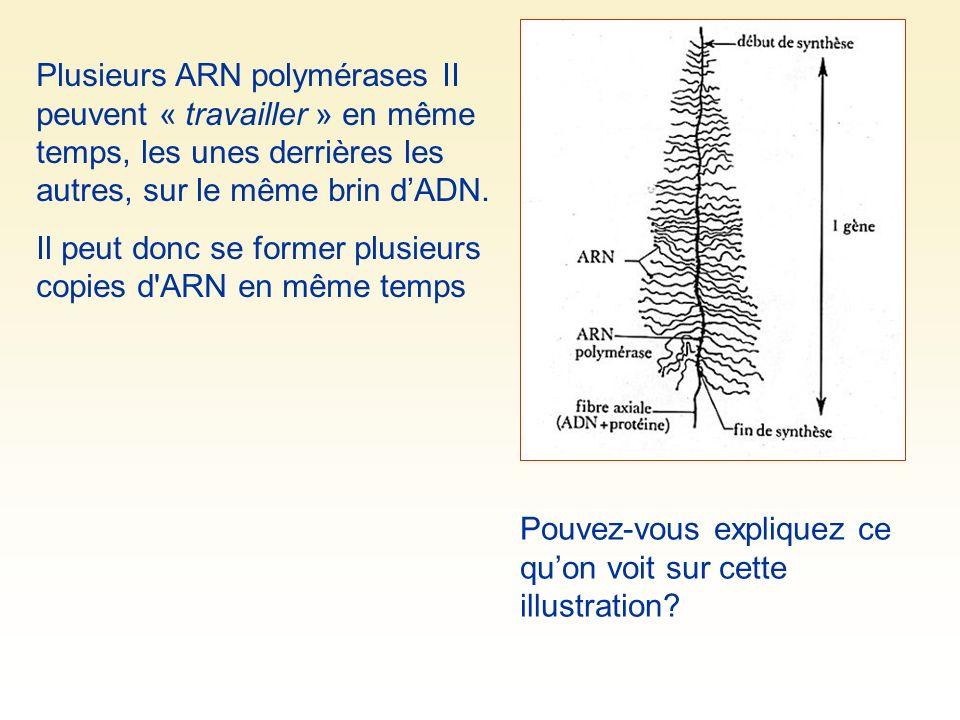Plusieurs ARN polymérases II peuvent « travailler » en même temps, les unes derrières les autres, sur le même brin dADN.