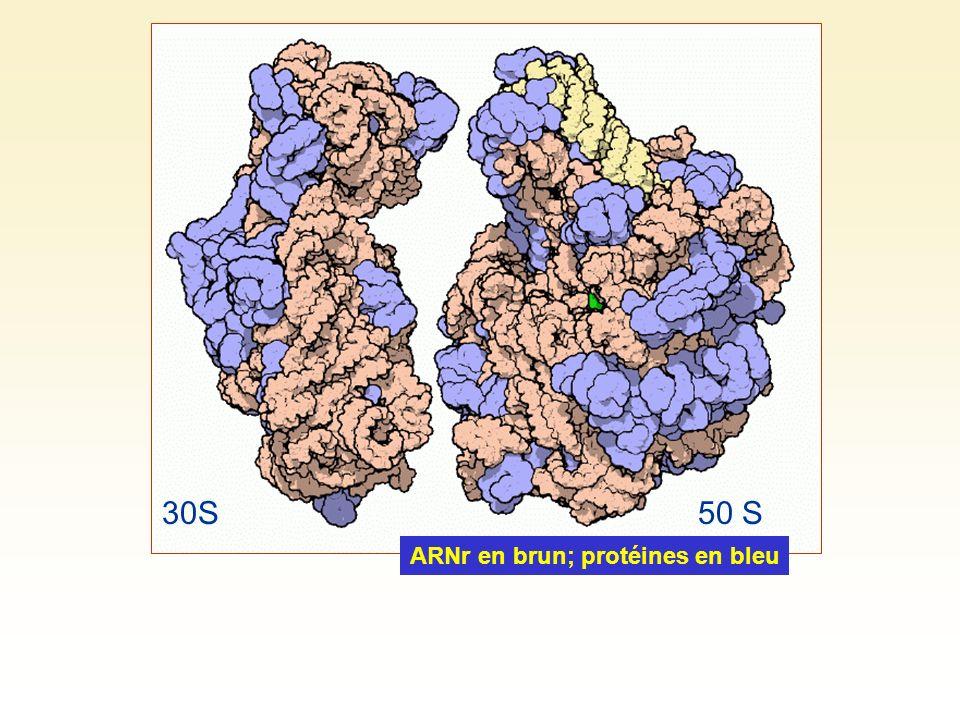 ARNr en brun; protéines en bleu 30S50 S