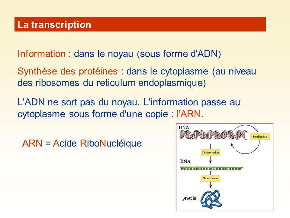 La transcription Information : dans le noyau (sous forme d ADN) Synthèse des protéines : dans le cytoplasme (au niveau des ribosomes du reticulum endoplasmique) L ADN ne sort pas du noyau.