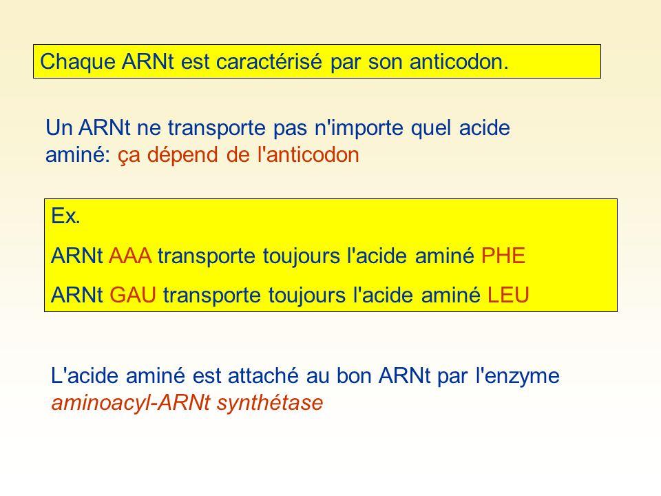Chaque ARNt est caractérisé par son anticodon. Un ARNt ne transporte pas n'importe quel acide aminé: ça dépend de l'anticodon Ex. ARNt AAA transporte