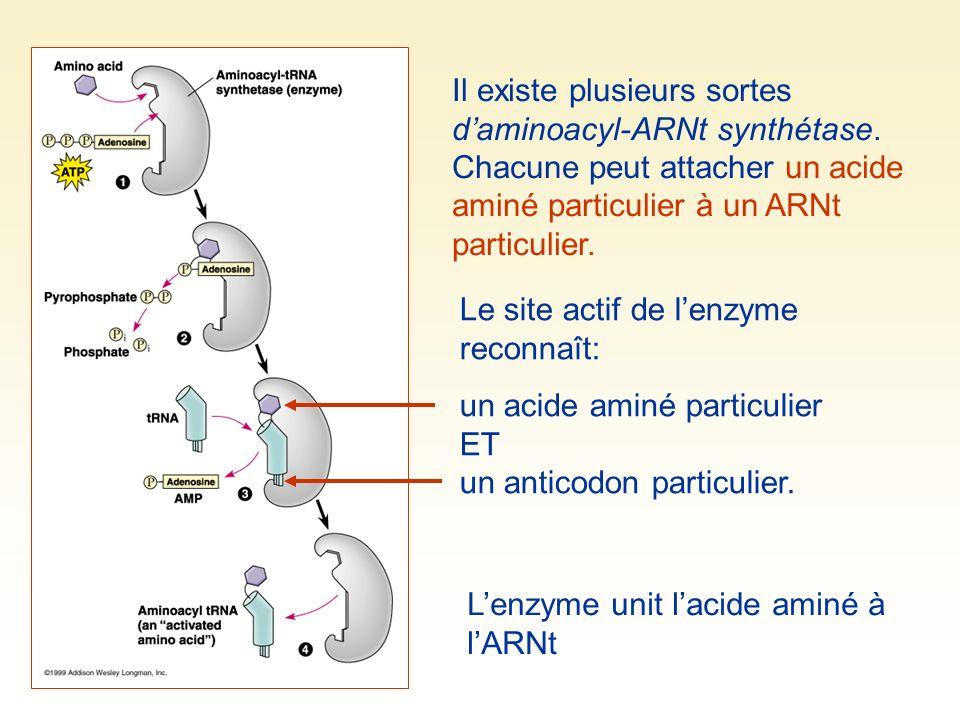 Il existe plusieurs sortes daminoacyl-ARNt synthétase. Chacune peut attacher un acide aminé particulier à un ARNt particulier. Le site actif de lenzym
