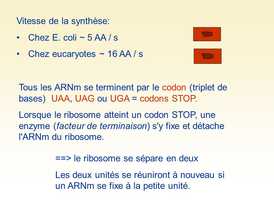 Vitesse de la synthèse: Chez E. coli ~ 5 AA / s Chez eucaryotes ~ 16 AA / s Tous les ARNm se terminent par le codon (triplet de bases) UAA, UAG ou UGA