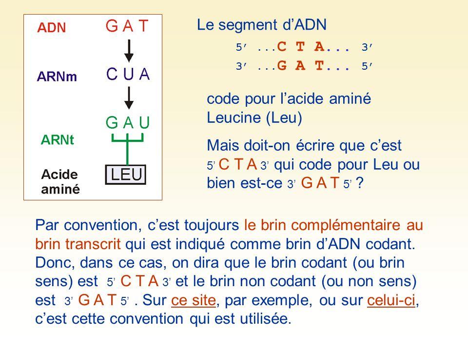 Le segment dADN 5... C T A... 3 3... G A T... 5 code pour lacide aminé Leucine (Leu) Mais doit-on écrire que cest 5 C T A 3 qui code pour Leu ou bien
