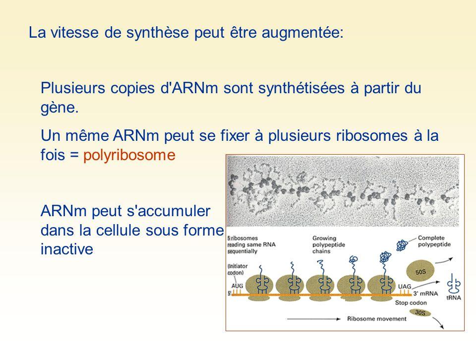 La vitesse de synthèse peut être augmentée: Plusieurs copies d'ARNm sont synthétisées à partir du gène. Un même ARNm peut se fixer à plusieurs ribosom