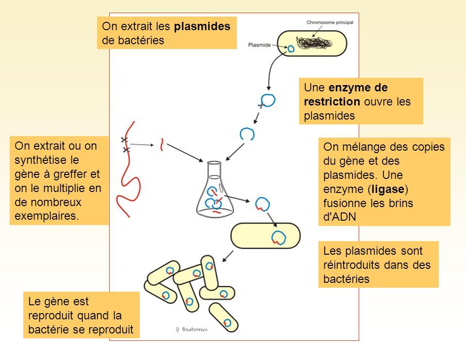 On extrait les plasmides de bactéries Une enzyme de restriction ouvre les plasmides On extrait ou on synthétise le gène à greffer et on le multiplie e