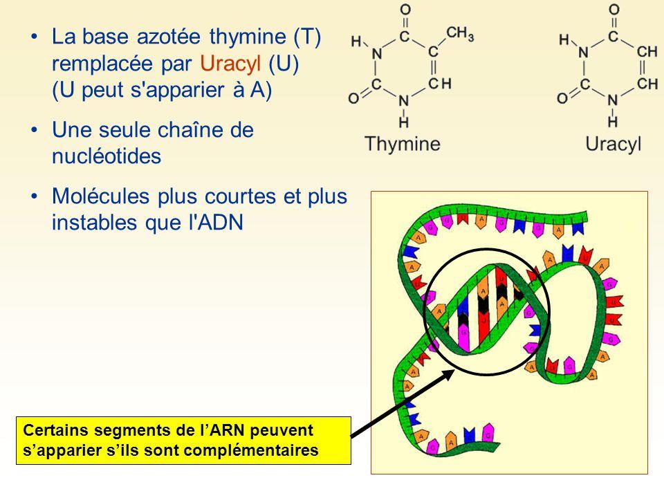 La base azotée thymine (T) remplacée par Uracyl (U) (U peut s apparier à A) Une seule chaîne de nucléotides Molécules plus courtes et plus instables que l ADN Certains segments de lARN peuvent sapparier sils sont complémentaires