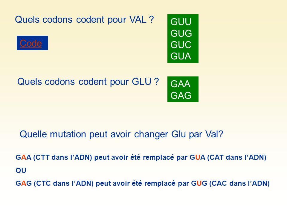 Quels codons codent pour VAL ? Quels codons codent pour GLU ? Code GUU GUG GUC GUA GAA GAG Quelle mutation peut avoir changer Glu par Val? GAA (CTT da