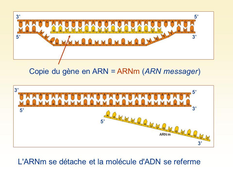 Copie du gène en ARN = ARNm (ARN messager) 3 5 5 3 L ARNm se détache et la molécule d ADN se referme 3 5 5 5 3 3