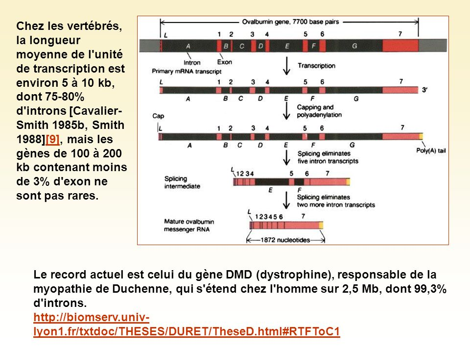 Le record actuel est celui du gène DMD (dystrophine), responsable de la myopathie de Duchenne, qui s'étend chez l'homme sur 2,5 Mb, dont 99,3% d'intro