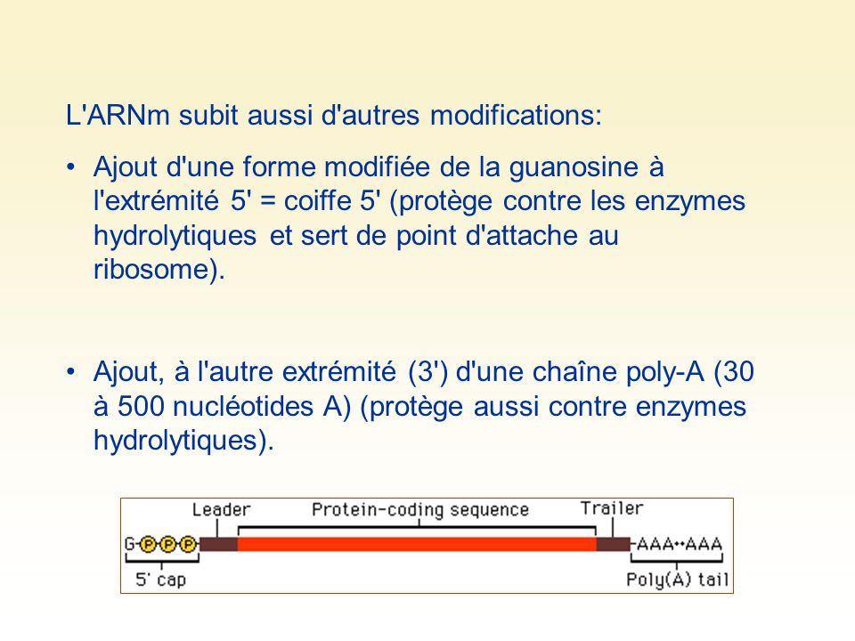 L ARNm subit aussi d autres modifications: Ajout d une forme modifiée de la guanosine à l extrémité 5 = coiffe 5 (protège contre les enzymes hydrolytiques et sert de point d attache au ribosome).