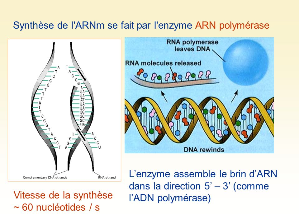 Synthèse de l ARNm se fait par l enzyme ARN polymérase Lenzyme assemble le brin dARN dans la direction 5 – 3 (comme lADN polymérase) Vitesse de la synthèse ~ 60 nucléotides / s