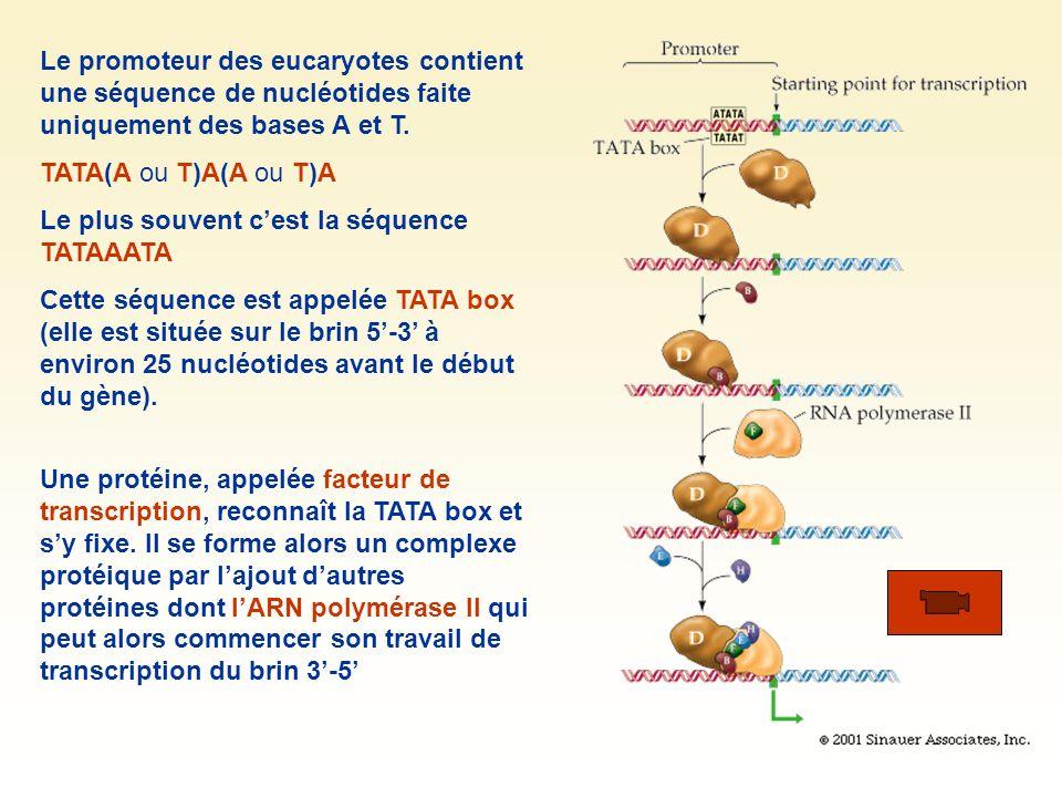 Le promoteur des eucaryotes contient une séquence de nucléotides faite uniquement des bases A et T. TATA(A ou T)A(A ou T)A Le plus souvent cest la séq
