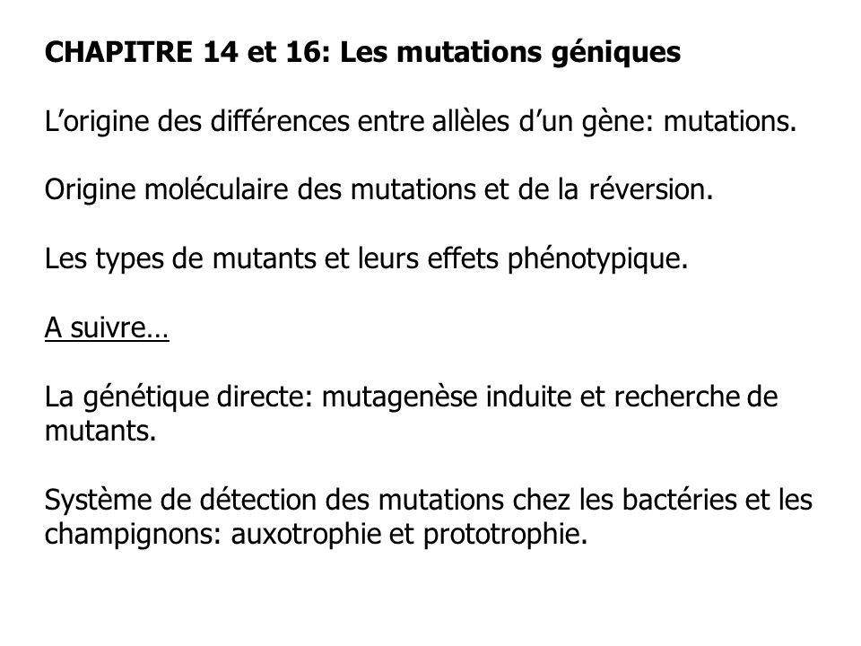 CHAPITRE 14 et 16: Les mutations géniques Lorigine des différences entre allèles dun gène: mutations. Origine moléculaire des mutations et de la réver