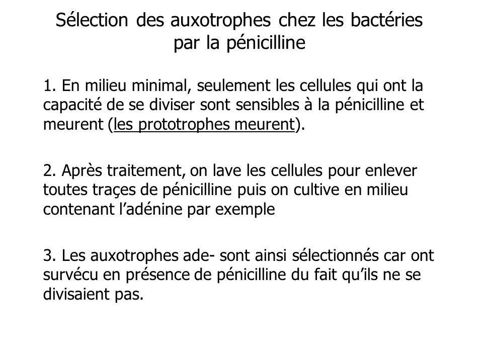 Sélection des auxotrophes chez les bactéries par la pénicilline 1. En milieu minimal, seulement les cellules qui ont la capacité de se diviser sont se