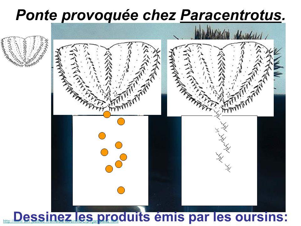 Ponte provoquée chez Paracentrotus. Dessinez les produits émis par les oursins: http://www.snv.jussieu.fr/bmedia/oursinMDC/p1gametes2.html