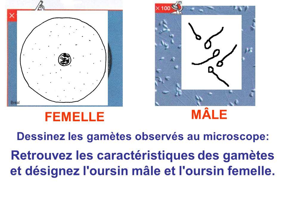 Dessinez les gamètes observés au microscope: Retrouvez les caractéristiques des gamètes et désignez l'oursin mâle et l'oursin femelle. FEMELLE MÂLE Br