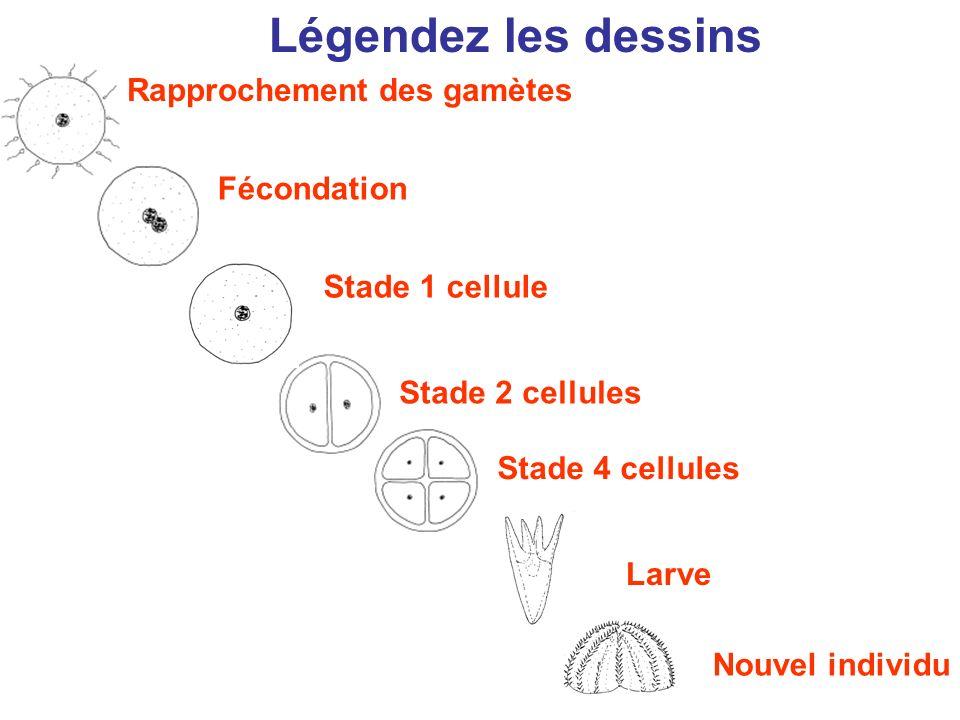 Légendez les dessins Nouvel individu Stade 4 cellules Fécondation Rapprochement des gamètes Larve Stade 2 cellules Stade 1 cellule