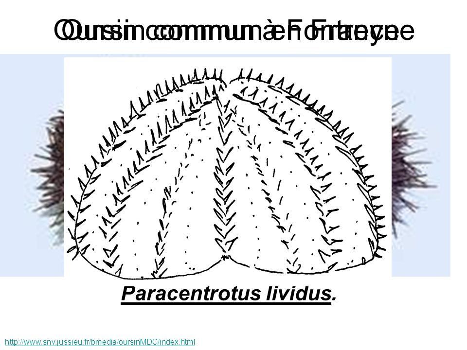 Paracentrotus lividus. http://www.snv.jussieu.fr/bmedia/oursinMDC/index.html Oursin commun en FranceOursin commun à Fontreyne