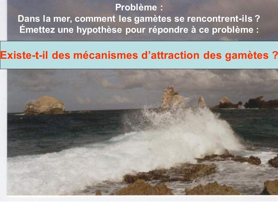 Problème : Dans la mer, comment les gamètes se rencontrent-ils ? Émettez une hypothèse pour répondre à ce problème : Existe-t-il des mécanismes dattra